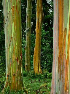 Rainbow #Eucalyptus Trees