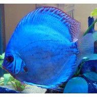 Discus Tank, Discus Fish, Salt Water Fish, Beautiful Fish, Exotic Fish, Freshwater Aquarium, Tropical Fish, Cobalt, Wildlife