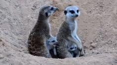 Bioparc Valencia in Spain welcomed five little Meerkat pups.