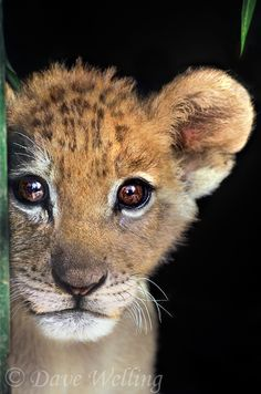 by Dave Welling. A striking portrait of a captive, big-eyed African lion cub, panthera leo, looking right at the camera. A wildlife rescue animal.