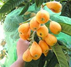 Delicious loquats (that's what my mother used to call them).