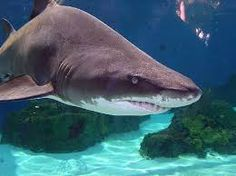 Gorgeous photo of a shark at Long Beach aquarium