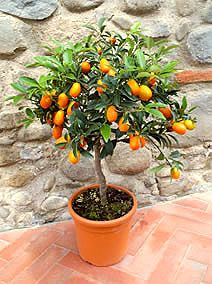 It's best to choose dwarf varieties, or trees that are naturally small, like a Calamondin orange (Citrus mitis) or a Key lime (Citrus aurantiifolia), because you'll be growing these in containers. When you make your purchase, just make sure you choose a true dwarf tree: one that has been grafted onto a dwarfing rootstock.