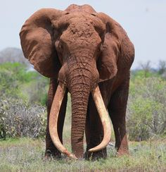 Magnificent. Why are people so stupid they kill these wonderful creatures just for their tusks? So sad.