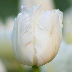 Tulip White Parrot. Few flowers can compete with the grace and elegance of this pure white parrot tulip. Its petals are large, deeply cupped and delicately flecked with green. A stunning cut flower.