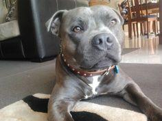Blue english staffy. Wonderful pet very loyal. Beautiful face.
