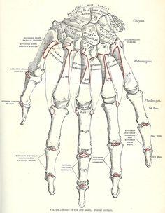 hand+bone+graphic+001.jpg (1171×1511)