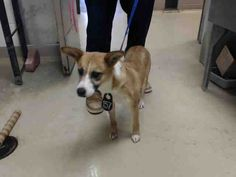 ~~dies 7am Monday 04/17/17~~**SEE VIDEO!!** **owner surrender = no hold time** HOUSTON - EXTREMELY URGENT -STELLA - ID#A481159    My name is STELLA    I am a female, brown and white Collie - Smooth mix.    The shelter staff think I am about 2 years old.  Harris County Public Health and Environmental Services. https://www.facebook.com/harriscountyanimalsheltervolunteers/videos/491134734344105/