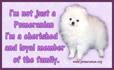 Marvelous Pomeranian Does Your Dog Measure Up and Does It Matter Characteristics. All About Pomeranian Does Your Dog Measure Up and Does It Matter Characteristics. Pomeranian Facts, Pomeranian Puppy, I Love Dogs, Cute Dogs, Quick Thinking, Save A Dog, Lap Dogs, Dry Dog Food, Small Breed