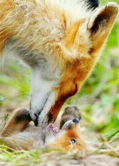 Fox motherhood