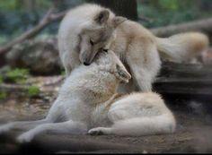 Wolf Love--Wolf Angels Photo