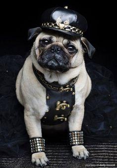 tough pug