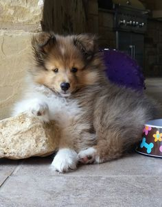 Sheltie Sunday for 38 Photos of Shetland Sheepdogs. Shetland sheepdogs require constant stimulation and are very smart making them highly trainable Rough Collie, Collie Dog, Mini Collie, Cute Puppies, Dogs And Puppies, Dog Dna Test, Shetland Sheepdog Puppies, Herding Dogs, Tier Fotos