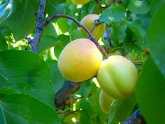 Apricot's scientific name is Prunus Armeniaca. This particular fruit is known to be found in Armenia many thousand years ago and it has very mouthwatering taste adored by everyone who visits Armenia. Now it is available for You too, in the form of FruitsMax tablets that have 12% of this amazing fruit...