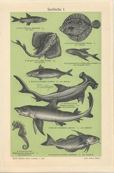 Gift for marine biologists. Sea Life Art, Hammerhead Shark, Life Aquatic, Fishing Gifts, Sea Fish, Fish Art, Antique Prints, Old Antiques, Creatures
