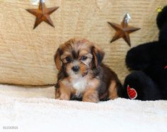 Find a puppy to adopt! Lancaster Puppies makes it easy to find homes for puppies from reputable dog breeders in PA and more. Shorkie Puppies For Sale, Designer Dogs Breeds, Lancaster Puppies, Pennsylvania, Dog Breeds, Adoption, Animals, Foster Care Adoption, Animales