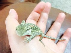 Bearded dragon- barbosa