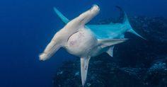 Liveaboard Life: The Okeanos Aggressor I and Okeanos Aggressor II Pelagic Fish, Cocos Island, Scuba Diving Gear, Diving Equipment, Sharks, Life, Travel, Viajes, Shark