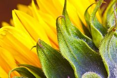 Sunflower! by sjodell
