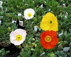 """2715 San Remo Poppy ( Papaver nudicale ) Very large flowers of pastel colors on strong stems, wonderful for cut flowers, in colors ranging from pastel pink, yellow to orange Many colored mix, blooms early to mid summer, grows about 24"""" tall, hardy to zone 2."""