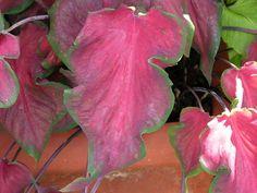 Caladium (Caladium bicolor)