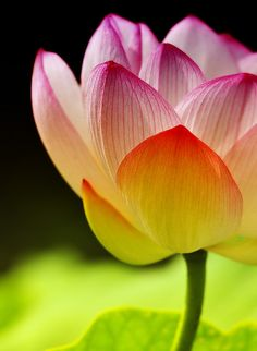 The lotus flower appeared in legends originating from ancient Egypt.  Lotus flower rises above the water and is usually white or pink with 15 or more oval, spreading petals, and a peculiar, flat seedcase at its center. Tokyo Prefecture, Japan