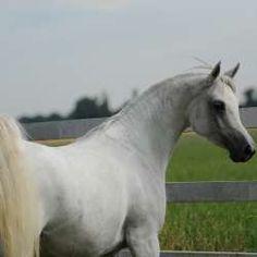El Khaled (Ansata Sinan x Shahirs Abriel  Gender: Stallion  Year Foaled: 2007  Color: Grey  Bloodline: Straight Egyptian  Strain: Kuhaylan Ajuz Ibn Rodan  CA, SCID and LFS clear
