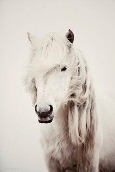 Beautiful shaggy white horse. It looks like a little mustang.