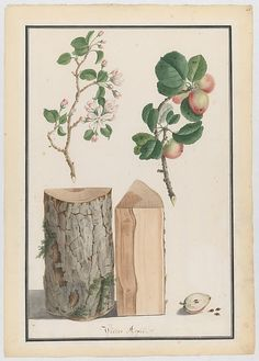 Studies of the trunk, blossoms and fruit of a wild apple tree (Malus sylvestris)