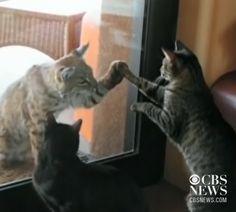Wild bobcat and housecat meet.