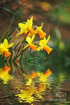 Daffodils In The Flood Fine Art Print
