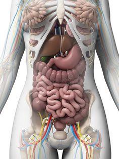 Human Body Anatomy, Human Anatomy And Physiology, Muscle Anatomy, Human Body Organs, Human Body Parts, Human Body Diagram, Human Body Science, Fitness Wear Women, Medical Anatomy
