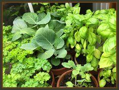 Growing indoors http://blog.blueheronyarns.com