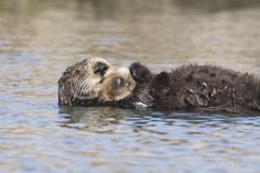 Sea-otter-bay 11 - Zeeotter - Wikipedia
