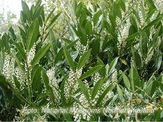 Prunus laurocerasusLaurbærheggRosaceae Rosefamilien  SNITT/LIGNOSE