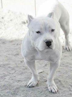 Gorgeous White Pit Bull #pitbull