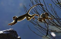 Two squirrel monkeys play in the winter sun in Qianling Mountain Park.