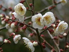 Ume, the Japanese Plum Tree, Prunus mume – Botany Boy Plum Flowers, Simple Flowers, Types Of Flowers, Colorful Flowers, Japanese Plum Tree, Japanese Style, Prunus Mume, Apricot Blossom, Flowers