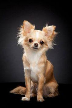 Adorable long hair Chihuahua puppy