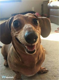 """Acquire fantastic pointers on """"Dachshund dogs"""". They are actually readily available for you on our site. Funny Dachshund, Dachshund Puppies, Weenie Dogs, Dachshund Love, Funny Dogs, Cute Puppies, Cute Dogs, Dogs And Puppies, Doggies"""