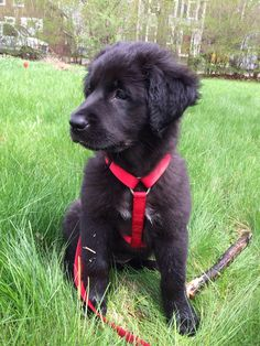 newfoundland mixed with lab Best of both breeds! In