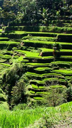 Ancient stepped rice terraces, Bali, Indonesia.