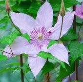 7 Timeless Plants that Say Cottage Garden: Clematis - A Integral Cottage Garden Plant