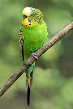 Budgerigar (Melopsittacus undulatus).