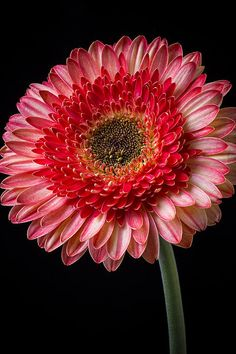 Beautiful Pink Gerbera by Garry Gay