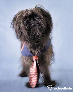 Maisie (Affenpinscher) - Crazy Maisie, where did you get that tie (pic by Rachael Hale)