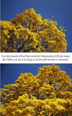 El Araguaney: Árbol Nacional de Venezuela