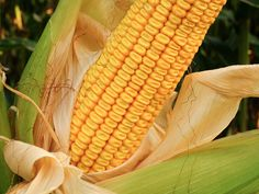 20150803-corn-guide-dent-corn-stock-1.jpg