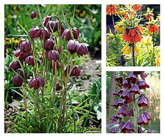 Easy To Grow Bulbs - Fritillaria