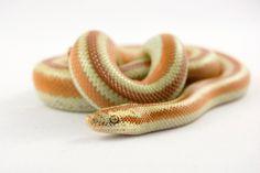 Juvenile male San Matias rosy boa Rosy Boa, Reptiles, Lizards, Cute Snake, Beautiful Snakes, Pets 3, Appreciation, Dreams, Club